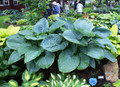 'Empress Wu' Hosta From NH Hostas