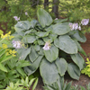 'Empress Wu' Hosta Courtesy of Walters Gardens