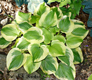 'Sweet Innocence' Hosta From NH Hostas