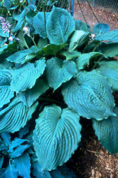 'Brutus' Hosta Courtesy of Green Hill Farm