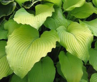 Great Lakes Gold Hosta - 4.5 Inch Container