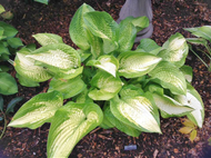 'Darwin's Standard' Hosta Courtesy of Sherri Brown
