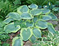 'Olive Bailey Langdon' Hosta From NH Hostas