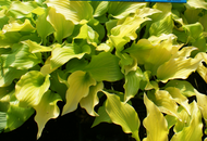 'Nancy' Hosta From NH Hostas