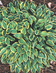 Hush Puppie Hosta - 4.5 Inch Container
