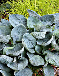 'Big Daddy' Hosta Courtesy of Walters Gardens