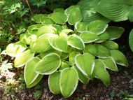 Saint Elmo's Fire Hosta - 4.5 Inch Container