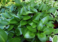 Devon Green Hosta - 4.5 Inch Container