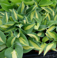 'Rootin Tootin' Hosta From NH Hostas