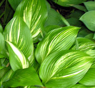 'Sea Lightning' Hosta