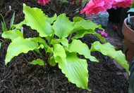 Cranberry Wine Hosta - 4.5 Inch Container