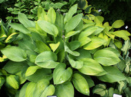 Gold Regal Hosta - 4.5 Inch Container