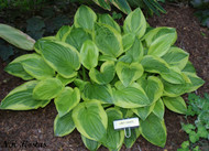 'Last Dance' Hosta From NH Hostas
