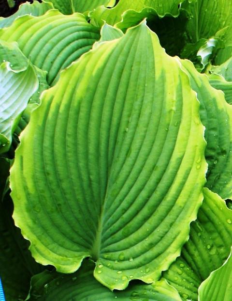 Spartacus Hosta Shade Perennial Large Hosta Plant