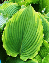 'Spartacus' Hosta From NH Hostas