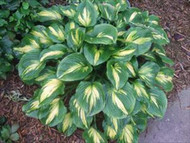 Prestige and Promise Hosta - 4.5 Inch Container