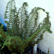 Cristata the King Male Fern