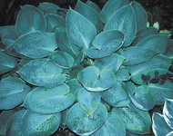 Silver Moon Hosta - 4.5 Inch Container