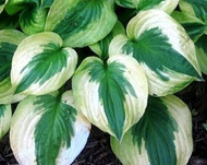 Summer Lovin Hosta 4.5 Inch Container