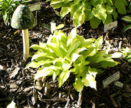 'Sunlight Child' Hosta From NH Hostas
