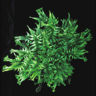 Applecourt Crested Painted Fern