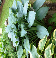 Queen of the Seas Hosta - 4.5 Inch Container