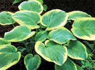 'Roseann Walter' Hosta Courtesy of Shady Oaks Nursery