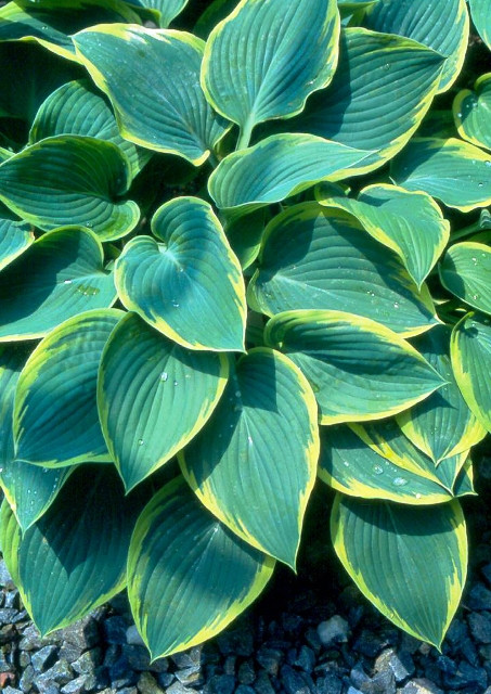 'Frost Giant' Hosta Courtesy of Bob Solberg