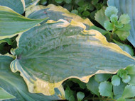 'Leather and Lace' Hosta Courtesy of Don Dean