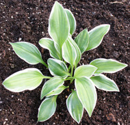 'Touchstone' Hosta