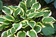 Garden Delight Hosta - 4.5 Inch Container
