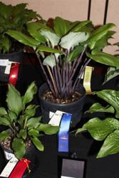 'Sugar Plum' Hosta Courtesy of Green Hill Farm
