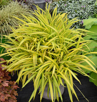 Carex 'Banana Boat' Courtesy of Walters Gardens