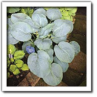 Powder Blue Hosta Two Gallon