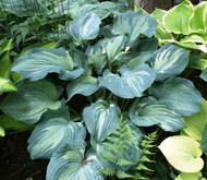 Guardian Angel Hosta - Two Gallon