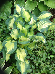 'Golden Meadows' Hosta Courtesy of Sherri Brown