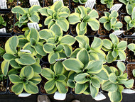 Lucky Mouse Hosta