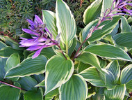 'Dragon Warrior' Hosta Courtesy of Jan Van den Top