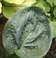 Cloudburst Hosta - 4.5 Inch Container