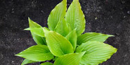 Invincible Spirit Hosta Courtesy of Naylor Creek