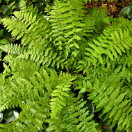 Petite Lady Fern Courtesy of Casa Flora