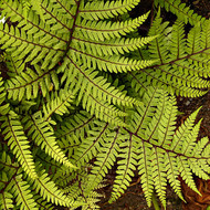 Limelight Lady Fern Courtesy of Casa Flora