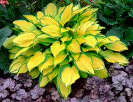Island Breeze PP27151 Hosta - 4.5 Inch Container