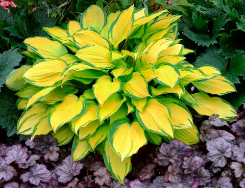 Island Breeze Hosta Shade Perennial Medium Hosta Plant