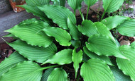 Jaws Hosta - 3 Inch Container