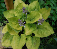 'Coast to Coast' Hosta Courtesy of Olga Petryszyn