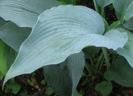 'Tidewater' Hosta Courtesy of Q&Z Nursery