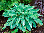 Joy Ride Hosta - 4.5 Inch Container