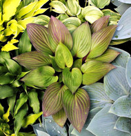 Hosta 'First Blush' Courtesy of Green Hill Farm