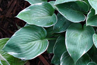 Heartsong Hosta - 4.5 Inch Container